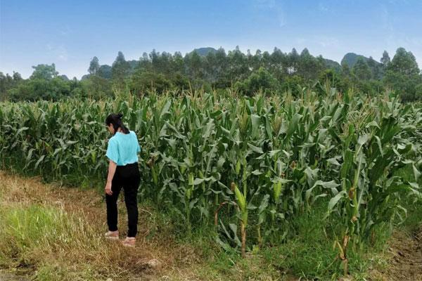 家里的一小块玉米地